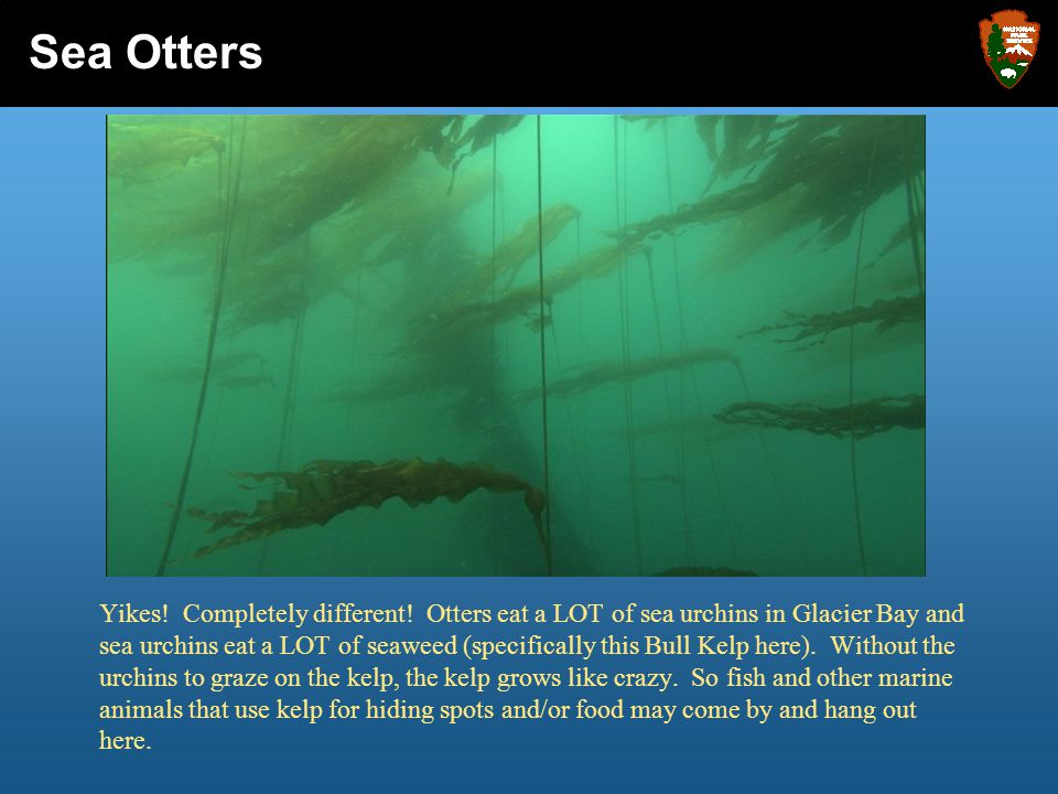 Yikes! Completely different! Otters eat a LOT of sea urchins in Glacier Bay and sea urchins eat a LOT of seaweed (specifically this Bull Kelp here). W