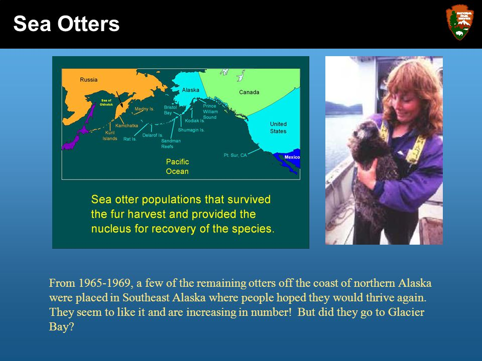 From 1965-1969, a few of the remaining otters off the coast of northern Alaska were placed in Southeast Alaska where people hoped they would thrive ag