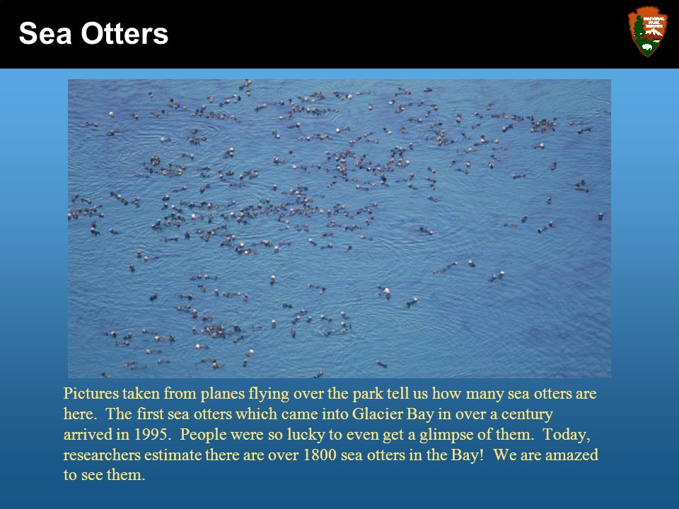 Pictures taken from planes flying over the park tell us how many sea otters are here. The first sea otters which came into Glacier Bay in over a centu
