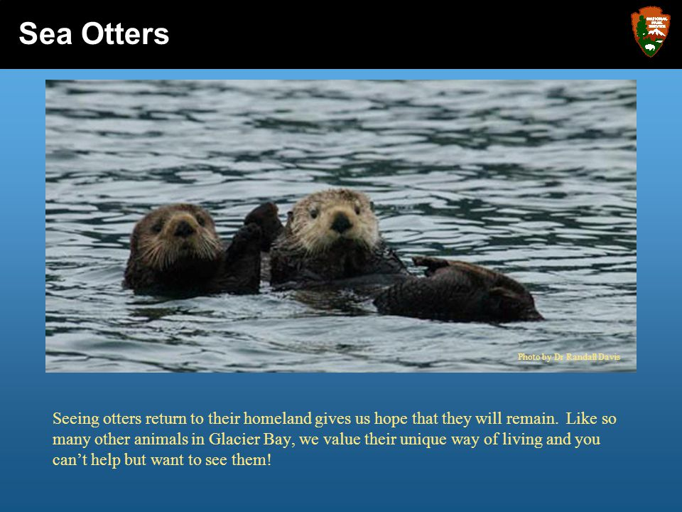 Seeing otters return to their homeland gives us hope that they will remain. Like so many other animals in Glacier Bay, we value their unique way of li