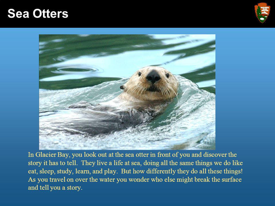In Glacier Bay, you look out at the sea otter in front of you and discover the story it has to tell. They live a life at sea, doing all the same thing