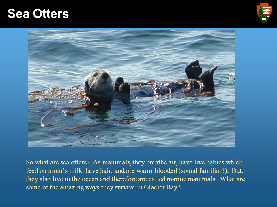 In Glacier Bay, you look out at the sea otter in front of you and discover the story it has to tell.