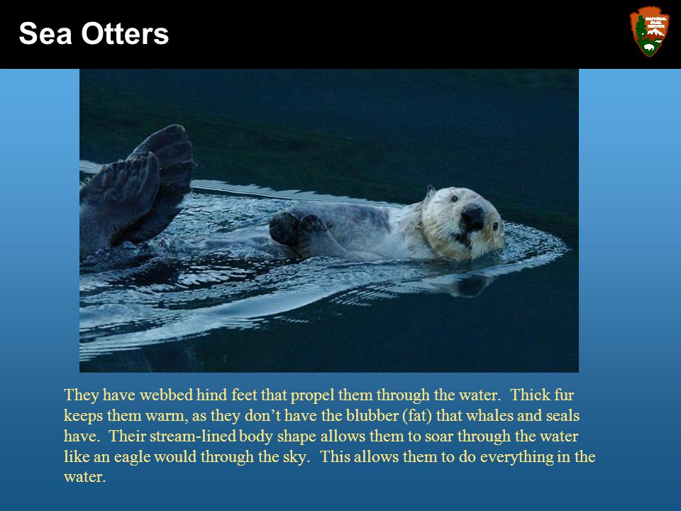 Sea otters dive, eat, sleep, play, and even give birth to their babies in the water.