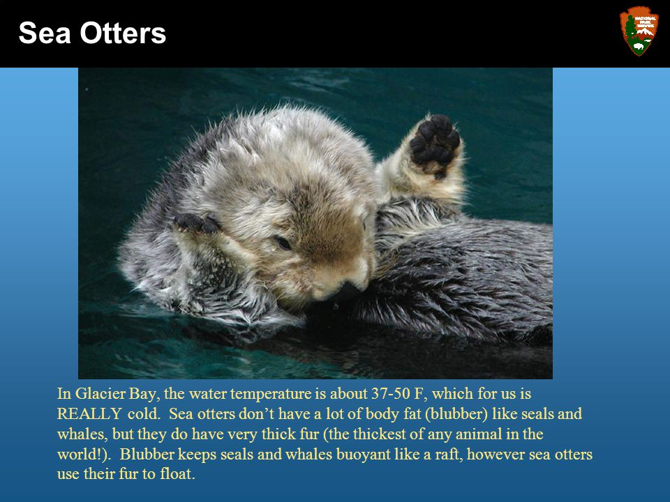 Beginning in the 1740's, fur traders from all over the world came in great numbers and found a wealth of money by selling the sea otter's thick, soft fur.