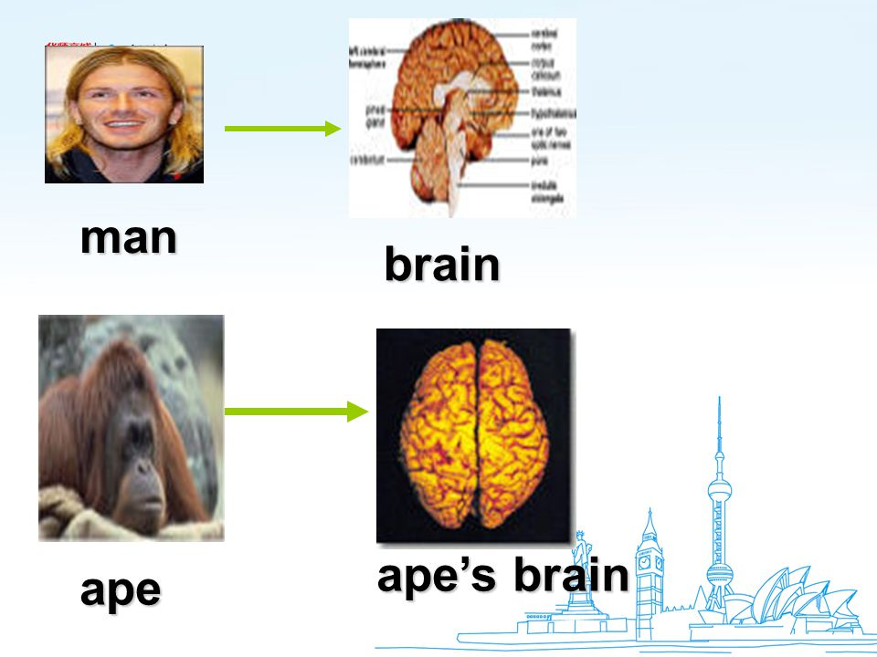 brain man ape ape's brain