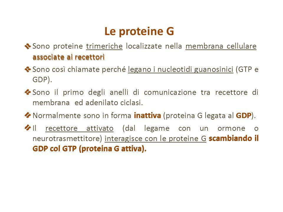 Le proteine G  Sono proteine trimeriche localizzate nella membrana cellulare, associate ai recettori.