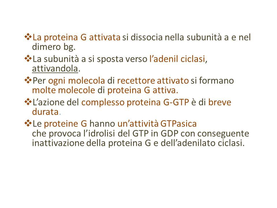  La proteina G attivata si dissocia nella subunità a e nel dimero bg.