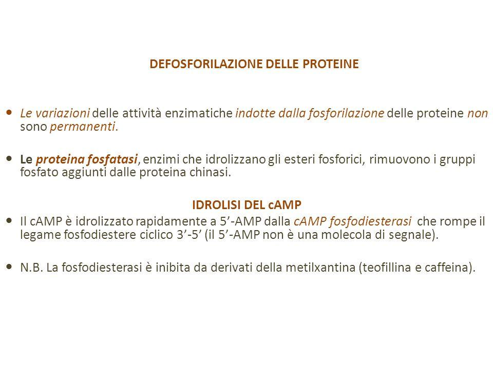 DEFOSFORILAZIONE DELLE PROTEINE Le variazioni delle attività enzimatiche indotte dalla fosforilazione delle proteine non sono permanenti.
