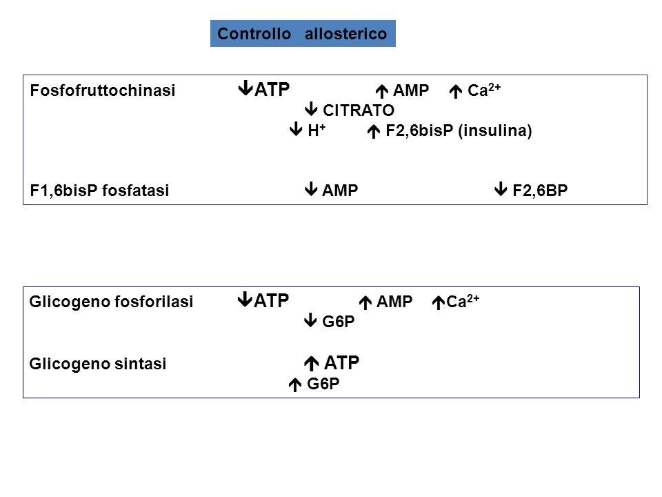 Fosfofruttochinasi  ATP  AMP  Ca 2+  CITRATO  H +  F2,6bisP (insulina) F1,6bisP fosfatasi  AMP  F2,6BP Controllo allosterico Glicogeno fosforilasi  ATP  AMP  Ca 2+  G6P Glicogeno sintasi  ATP  G6P