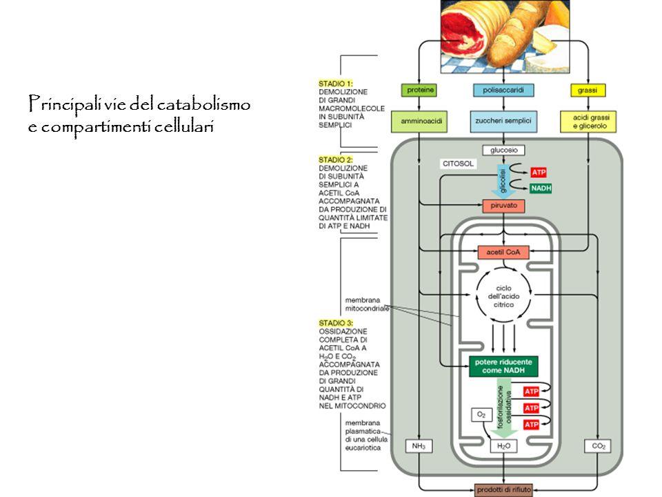 Principali vie del catabolismo e compartimenti cellulari