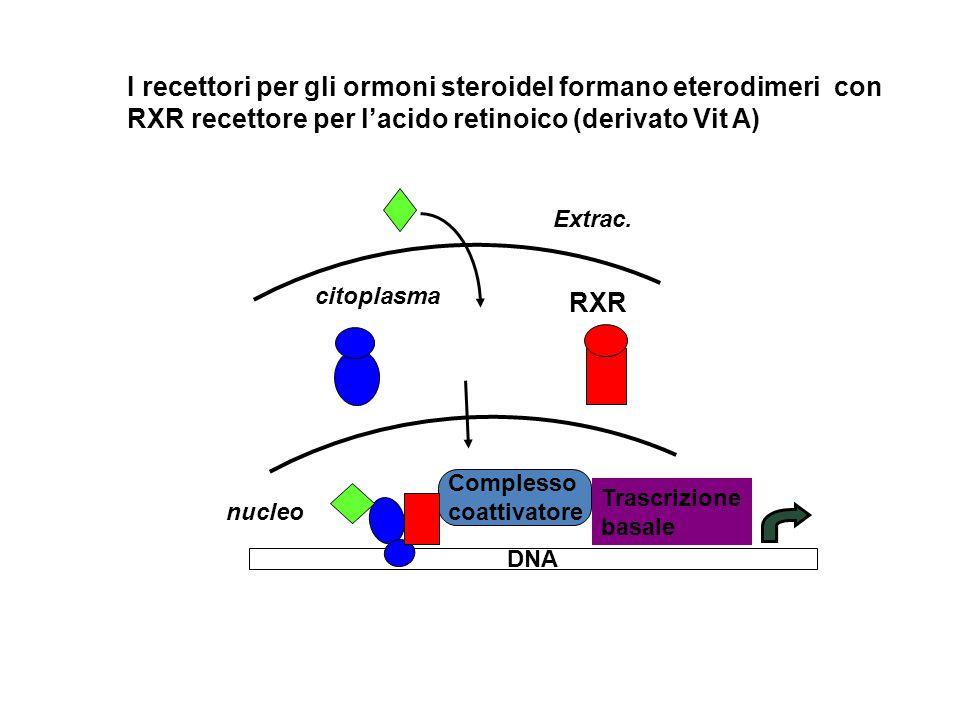 RXR Complesso coattivatore DNA Trascrizione basale I recettori per gli ormoni steroideI formano eterodimeri con RXR recettore per l'acido retinoico (derivato Vit A) Extrac.