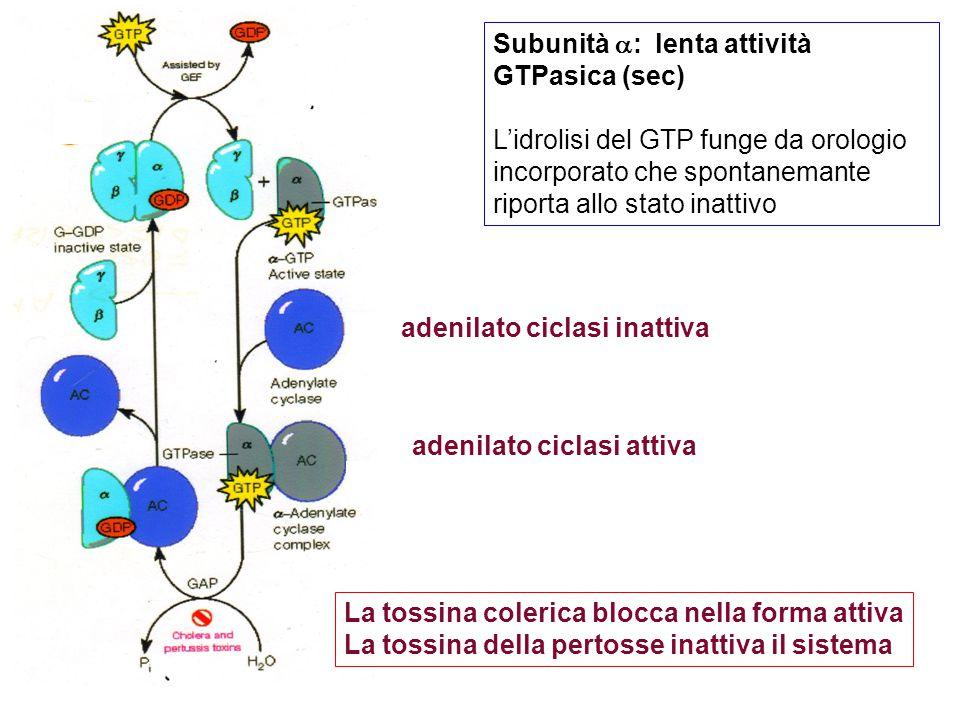 adenilato ciclasi inattiva adenilato ciclasi attiva Subunità  : lenta attività GTPasica (sec) L'idrolisi del GTP funge da orologio incorporato che spontanemante riporta allo stato inattivo La tossina colerica blocca nella forma attiva La tossina della pertosse inattiva il sistema