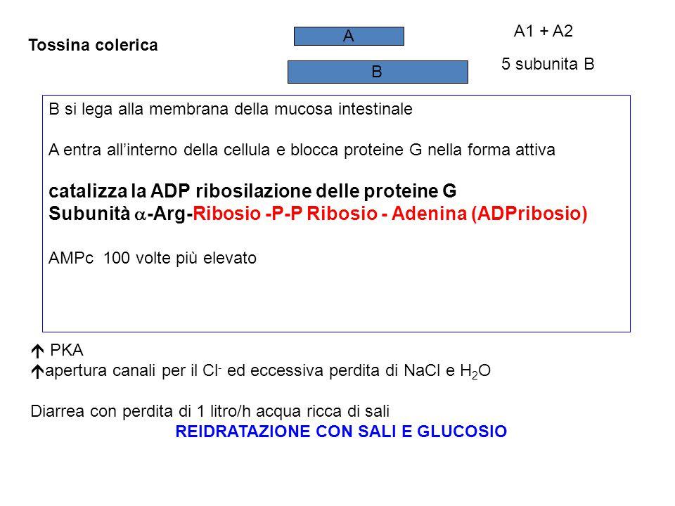 Tossina colerica B A 5 subunita B A1 + A2 B si lega alla membrana della mucosa intestinale A entra all'interno della cellula e blocca proteine G nella forma attiva catalizza la ADP ribosilazione delle proteine G Subunità  -Arg-Ribosio -P-P Ribosio - Adenina (ADPribosio) AMPc 100 volte più elevato  PKA  apertura canali per il Cl - ed eccessiva perdita di NaCl e H 2 O Diarrea con perdita di 1 litro/h acqua ricca di sali REIDRATAZIONE CON SALI E GLUCOSIO