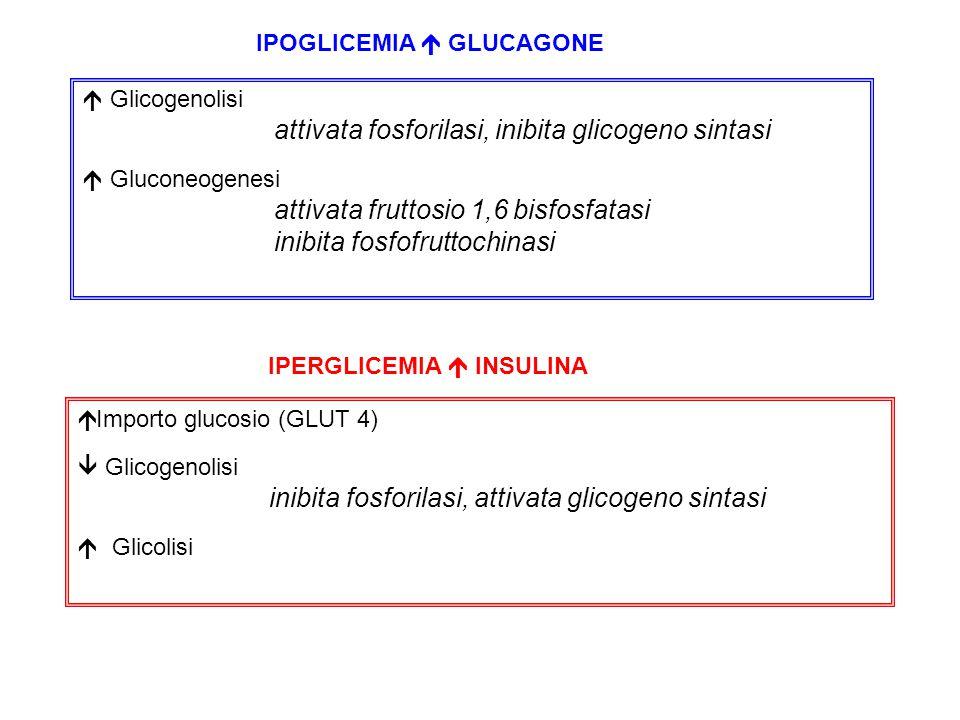 IPOGLICEMIA  GLUCAGONE  Glicogenolisi attivata fosforilasi, inibita glicogeno sintasi  Gluconeogenesi attivata fruttosio 1,6 bisfosfatasi inibita fosfofruttochinasi IPERGLICEMIA  INSULINA  Importo glucosio (GLUT 4)  Glicogenolisi inibita fosforilasi, attivata glicogeno sintasi  Glicolisi