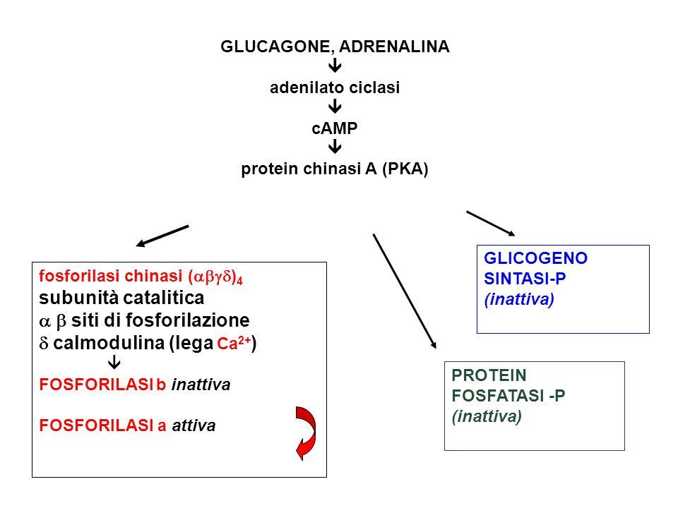 fosforilasi chinasi (  ) 4 subunità catalitica   siti di fosforilazione  calmodulina (lega Ca 2+ )  FOSFORILASI b inattiva FOSFORILASI a attiva GLUCAGONE, ADRENALINA  adenilato ciclasi  cAMP  protein chinasi A (PKA) GLICOGENO SINTASI-P (inattiva) PROTEIN FOSFATASI -P (inattiva)