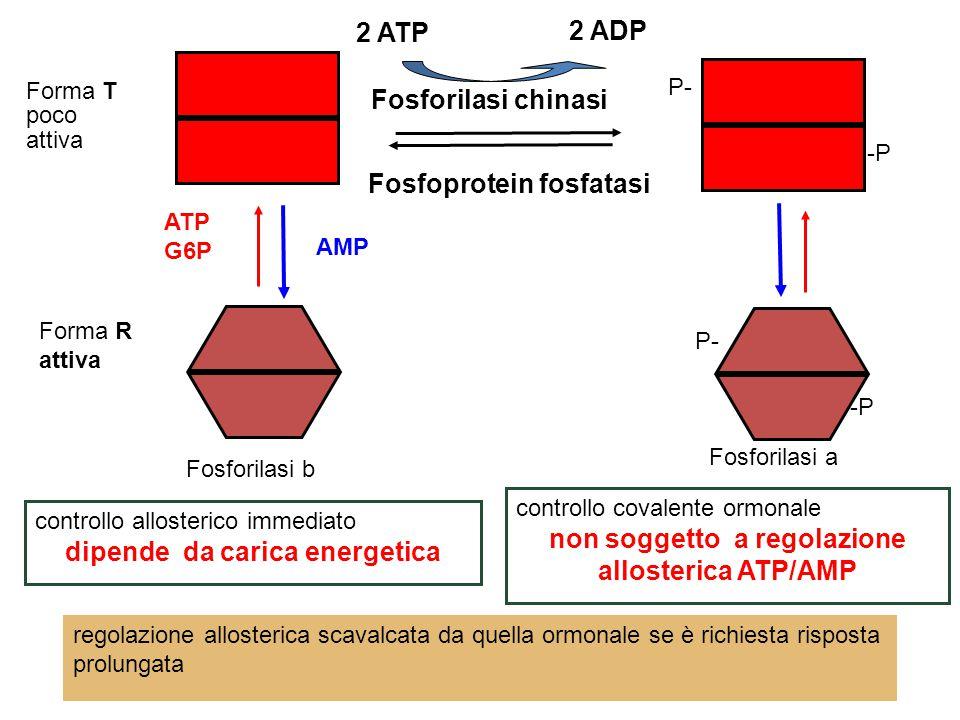 Fosforilasi b Fosforilasi a controllo allosterico immediato dipende da carica energetica Forma R attiva Forma T poco attiva AMP ATP G6P Fosforilasi chinasi 2 ATP 2 ADP Fosfoprotein fosfatasi -P P- -P P- controllo covalente ormonale non soggetto a regolazione allosterica ATP/AMP regolazione allosterica scavalcata da quella ormonale se è richiesta risposta prolungata