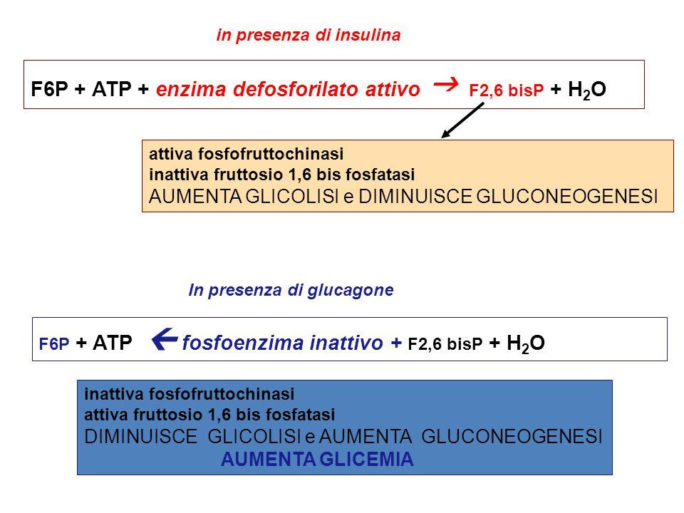 F6P + ATP + enzima defosforilato attivo  F2,6 bisP + H 2 O attiva fosfofruttochinasi inattiva fruttosio 1,6 bis fosfatasi AUMENTA GLICOLISI e DIMINUISCE GLUCONEOGENESI in presenza di insulina In presenza di glucagone F6P + ATP  fosfoenzima inattivo + F2,6 bisP + H 2 O inattiva fosfofruttochinasi attiva fruttosio 1,6 bis fosfatasi DIMINUISCE GLICOLISI e AUMENTA GLUCONEOGENESI AUMENTA GLICEMIA