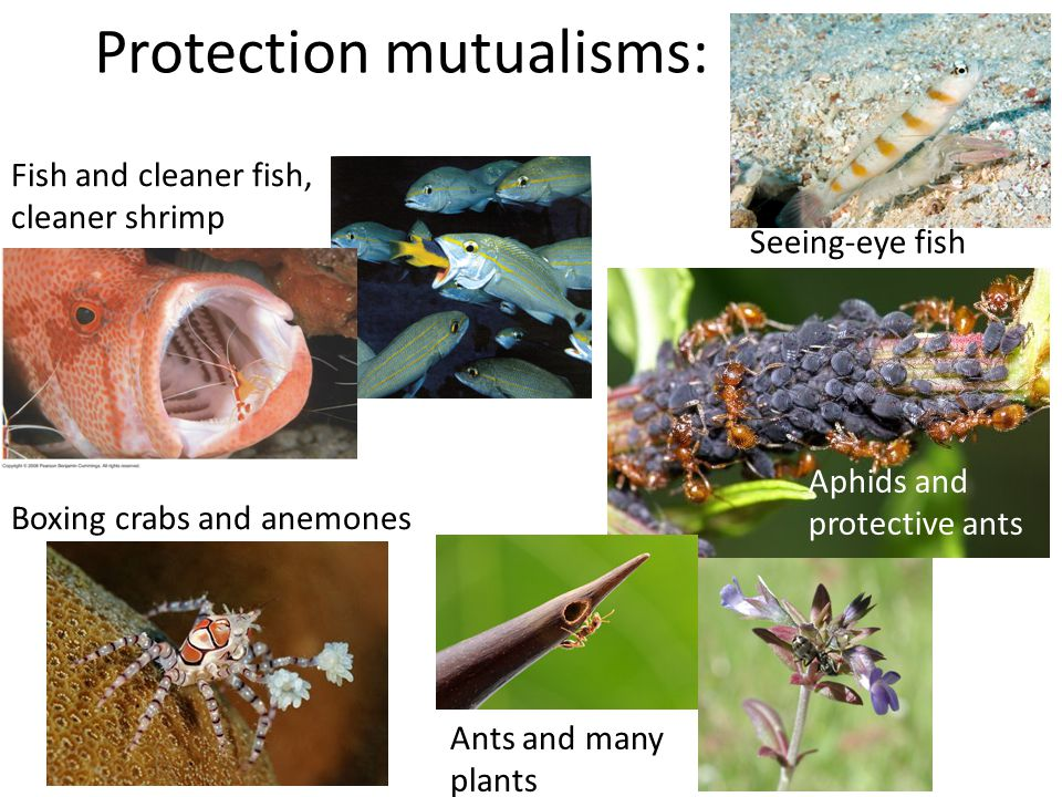Protection mutualisms: Fish and cleaner fish, cleaner shrimp Boxing crabs and anemones Seeing-eye fish Aphids and protective ants Ants and many plants