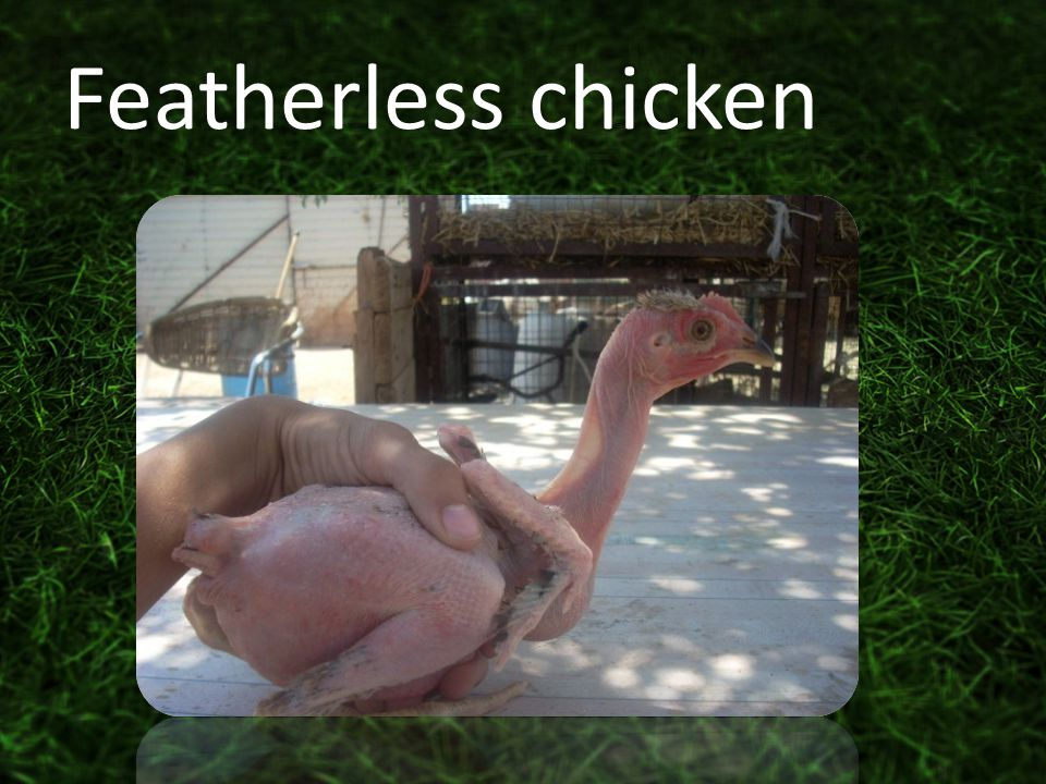 Featherless chicken