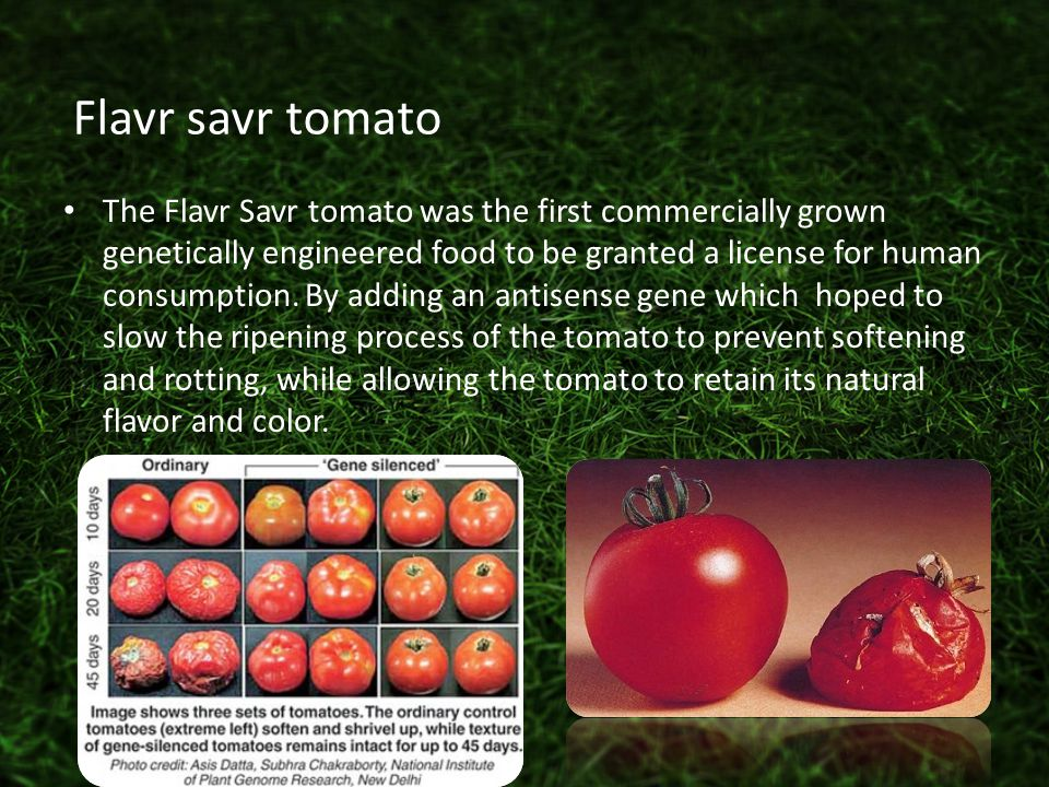 The Flavr Savr tomato was the first commercially grown genetically engineered food to be granted a license for human consumption.