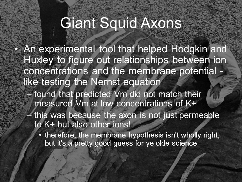 Giant Squid Axons An experimental tool that helped Hodgkin and Huxley to figure out relationships between ion concentrations and the membrane potentia