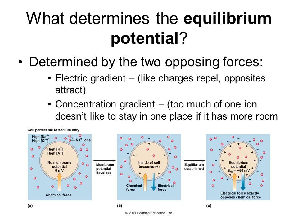 What determines the equilibrium potential? Determined by the two opposing forces: Electric gradient – (like charges repel, opposites attract) Concentr