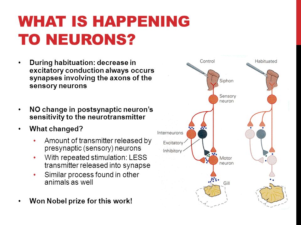 WHAT IS HAPPENING TO NEURONS? During habituation: decrease in excitatory conduction always occurs in synapses involving the axons of the sensory neuro