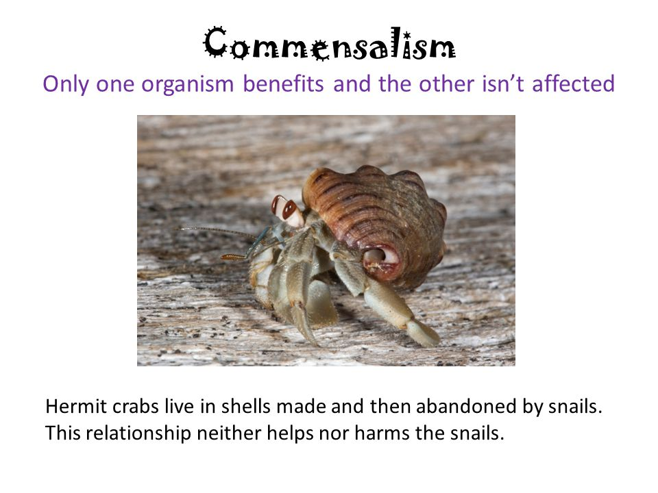 Commensalism Only one organism benefits and the other isn't affected Hermit crabs live in shells made and then abandoned by snails. This relationship