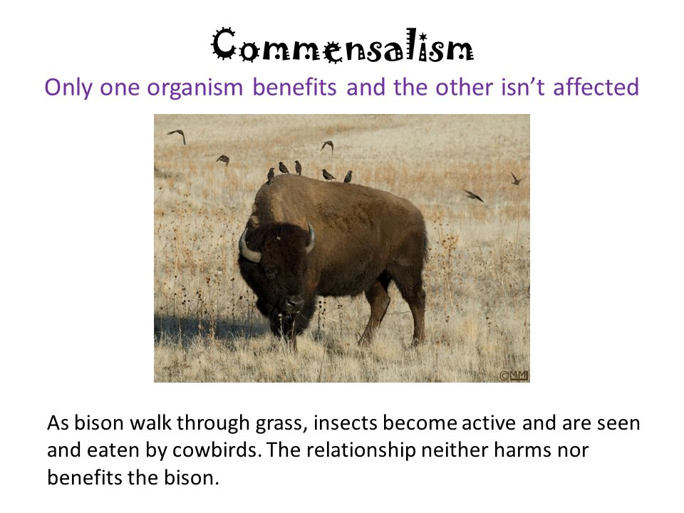 Commensalism Only one organism benefits and the other isn't affected As bison walk through grass, insects become active and are seen and eaten by cowb