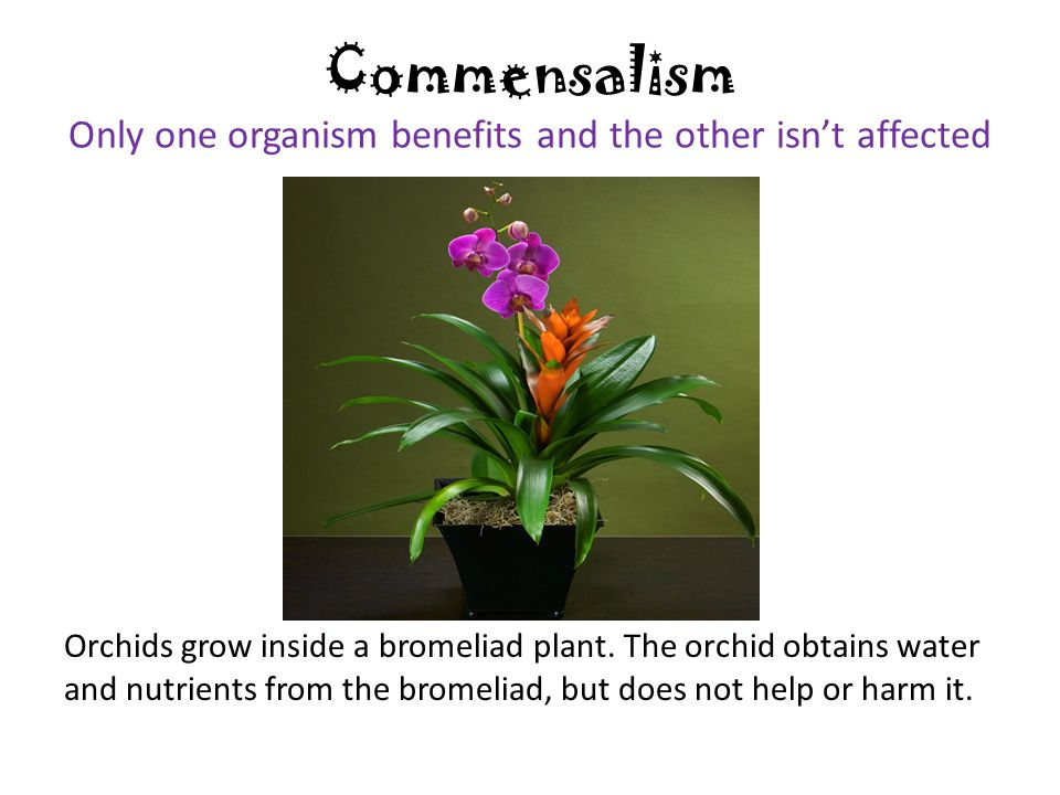 Commensalism Only one organism benefits and the other isn't affected Orchids grow inside a bromeliad plant.