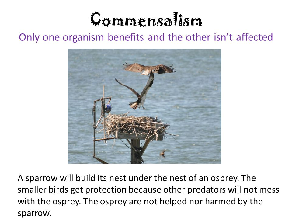 Commensalism Only one organism benefits and the other isn't affected A sparrow will build its nest under the nest of an osprey.