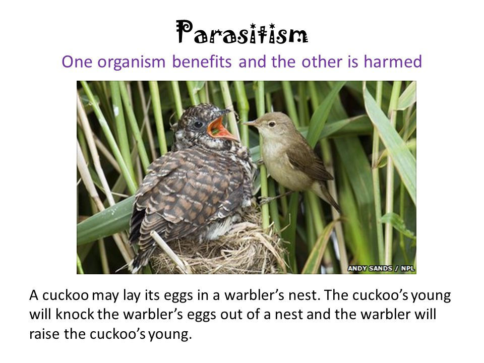 Parasitism One organism benefits and the other is harmed A cuckoo may lay its eggs in a warbler's nest. The cuckoo's young will knock the warbler's eg