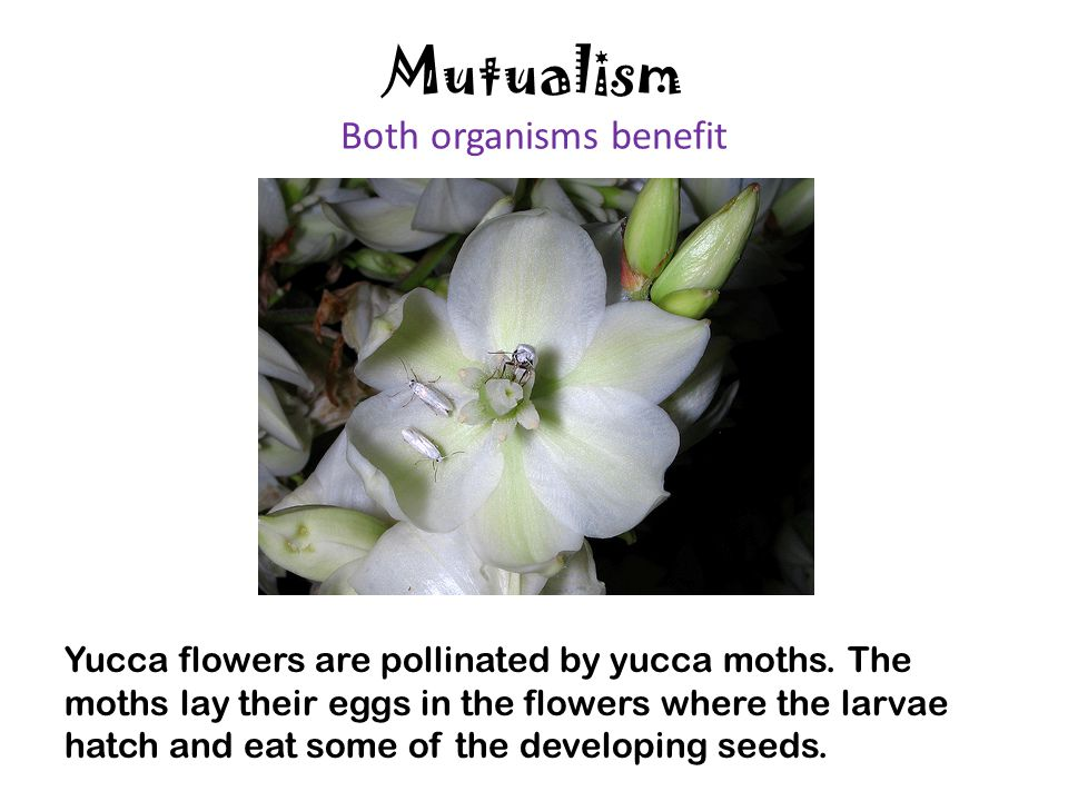 Mutualism Both organisms benefit Yucca flowers are pollinated by yucca moths. The moths lay their eggs in the flowers where the larvae hatch and eat s