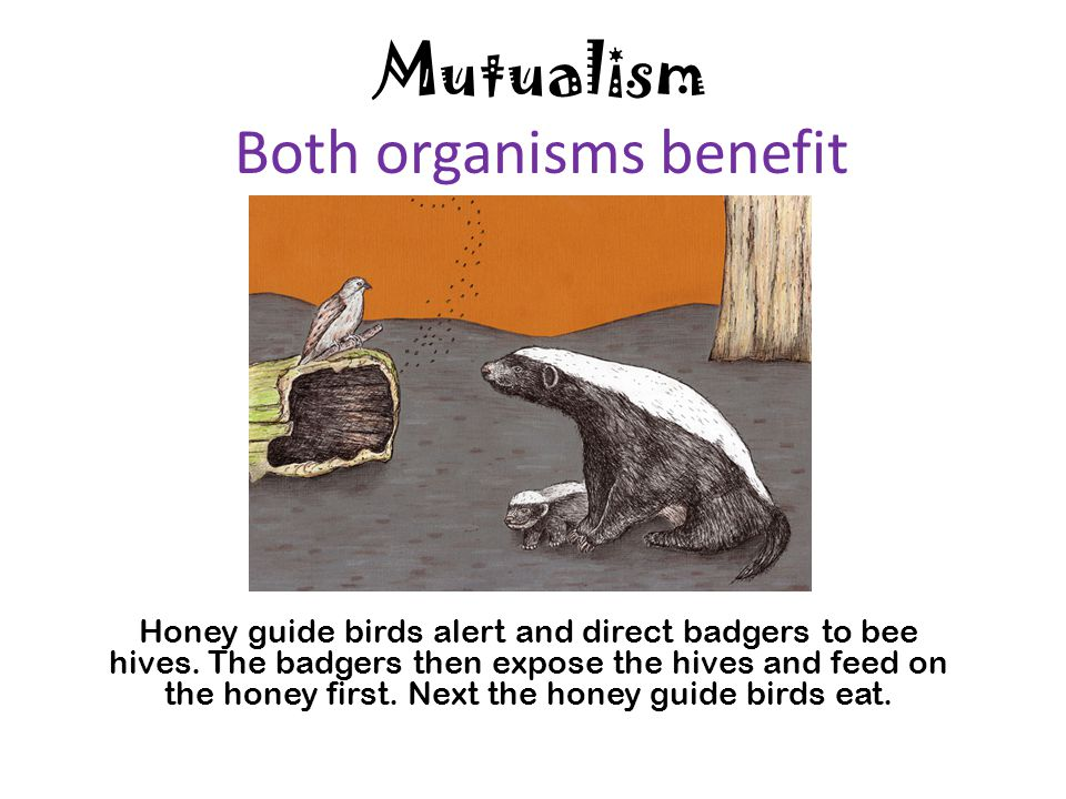 Mutualism Both organisms benefit Honey guide birds alert and direct badgers to bee hives. The badgers then expose the hives and feed on the honey firs