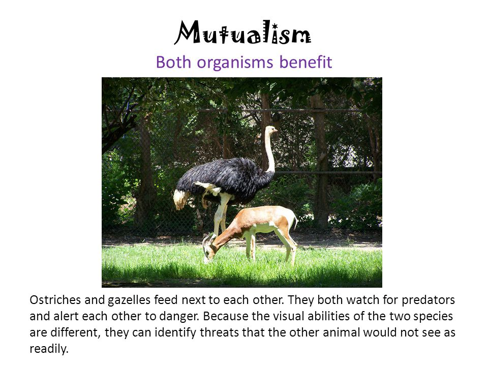 Mutualism Both organisms benefit Ostriches and gazelles feed next to each other. They both watch for predators and alert each other to danger. Because