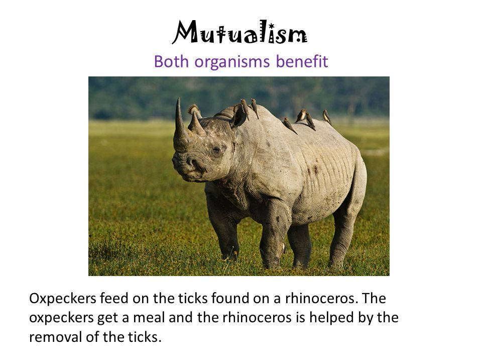 Mutualism Both organisms benefit Oxpeckers feed on the ticks found on a rhinoceros. The oxpeckers get a meal and the rhinoceros is helped by the remov