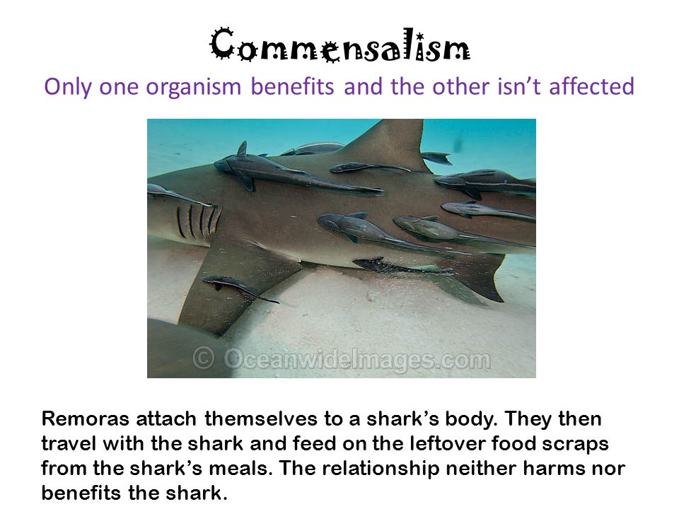 Commensalism Only one organism benefits and the other isn't affected Remoras attach themselves to a shark's body. They then travel with the shark and