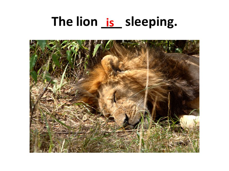 The lion ___ sleeping. is
