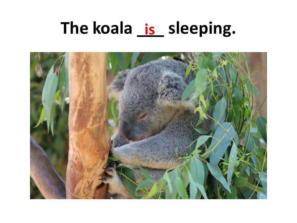 The koala ___ sleeping. is