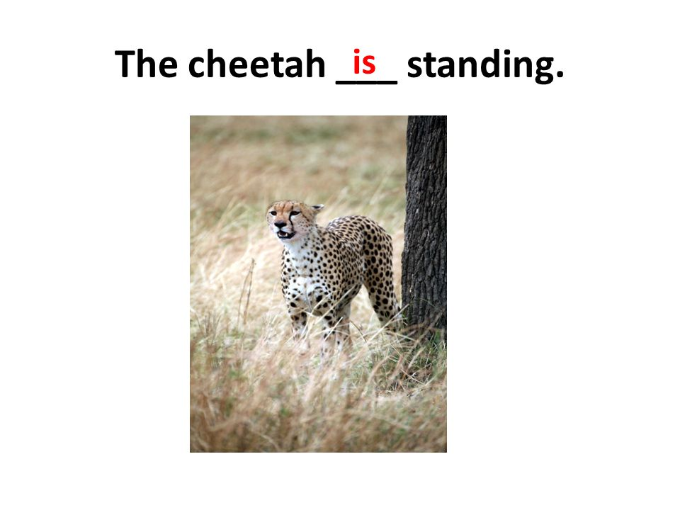 The cheetah ___ standing. is