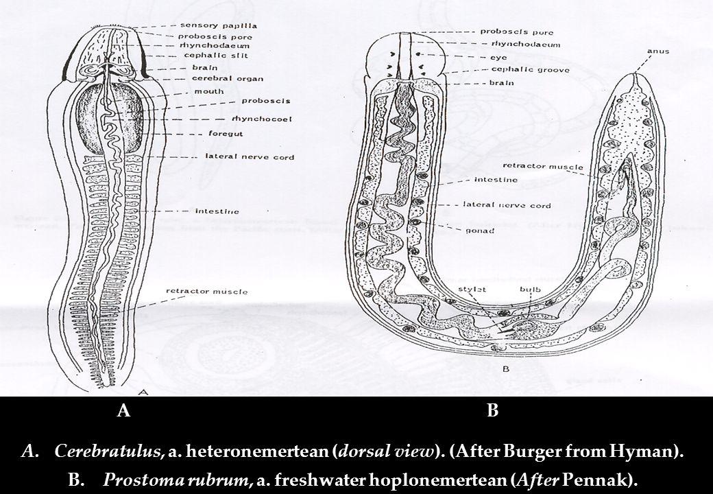 A.Cerebratulus, a. heteronemertean (dorsal view). (After Burger from Hyman). B. Prostoma rubrum, a. freshwater hoplonemertean (After Pennak). AB