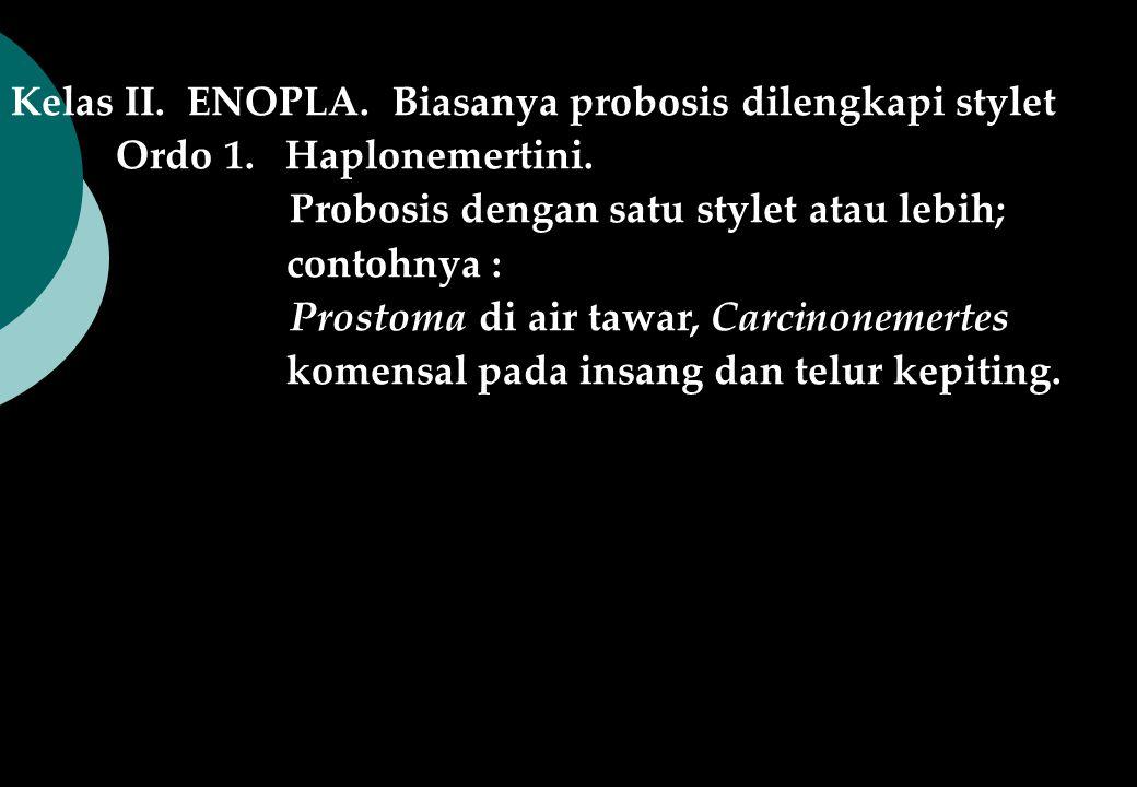 Kelas II. ENOPLA. Biasanya probosis dilengkapi stylet Ordo 1. Haplonemertini. Probosis dengan satu stylet atau lebih; contohnya : Prostoma di air tawa