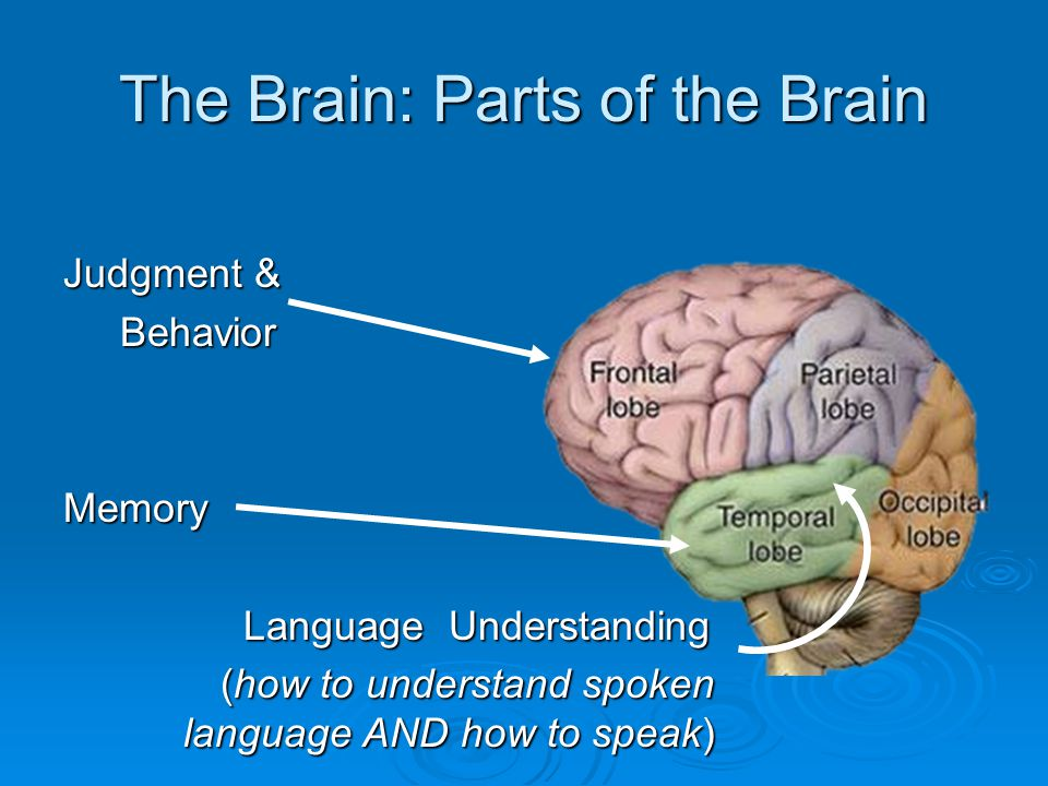 The Brain: Parts of the Brain Judgment & Behavior Behavior Memory Language Understanding Language Understanding (how to understand spoken language AND