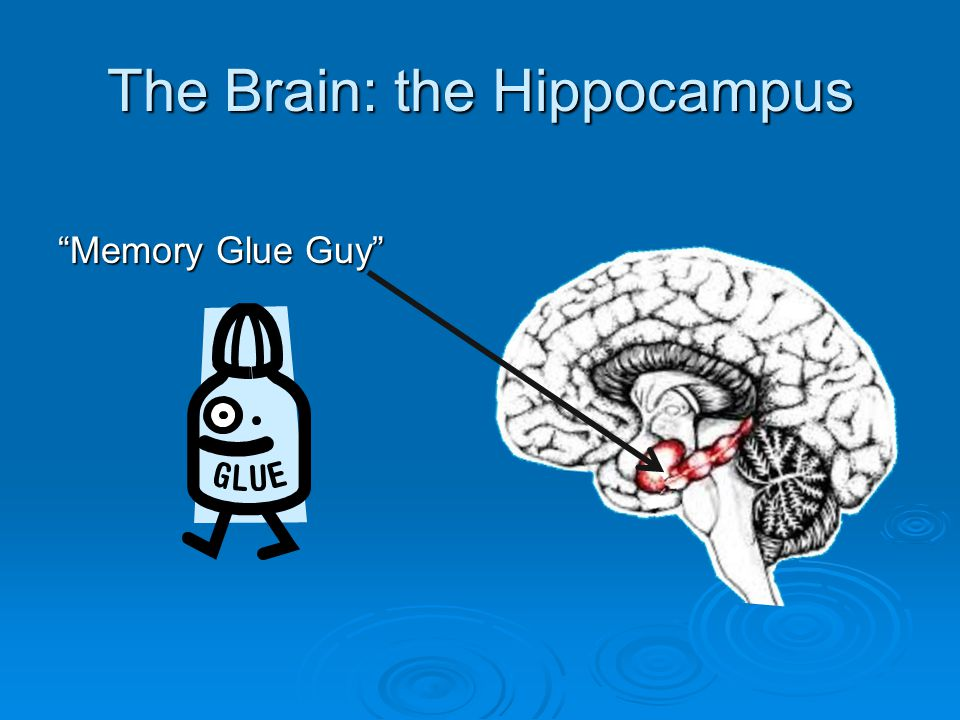 "The Brain: the Hippocampus ""Memory Glue Guy"""