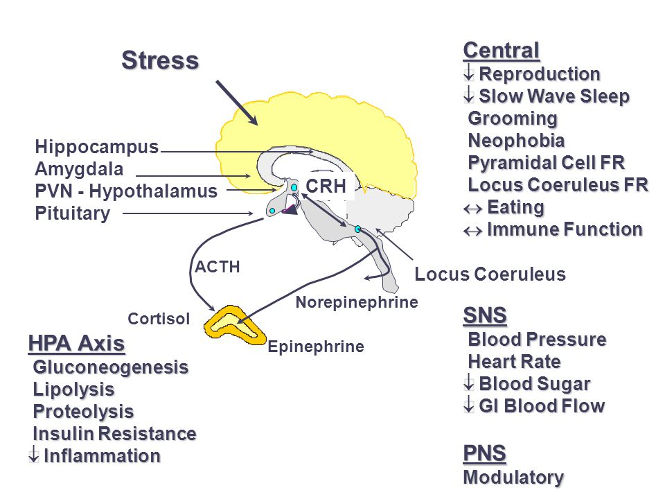 Hippocampus Amygdala PVN - Hypothalamus Pituitary ACTH Stress CRH Locus Coeruleus Cortisol Epinephrine Norepinephrine HPA Axis  Gluconeogenesis  Lipolysis  Proteolysis  Insulin Resistance  Inflammation SNS  Blood Pressure  Heart Rate  Blood Sugar  GI Blood Flow PNSModulatory Central  Reproduction  Slow Wave Sleep  Grooming  Neophobia  Pyramidal Cell FR  Locus Coeruleus FR  Eating  Immune Function