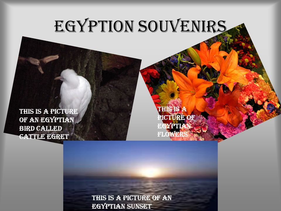 Egyption Souvenirs This is a picture of an Egyptian bird called Cattle Egret This is a picture of Egyptian flowers This is a picture of an Egyptian su