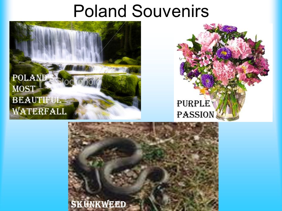 Poland Souvenirs Poland's Most Beautiful Waterfall Purple Passion Skunkweed