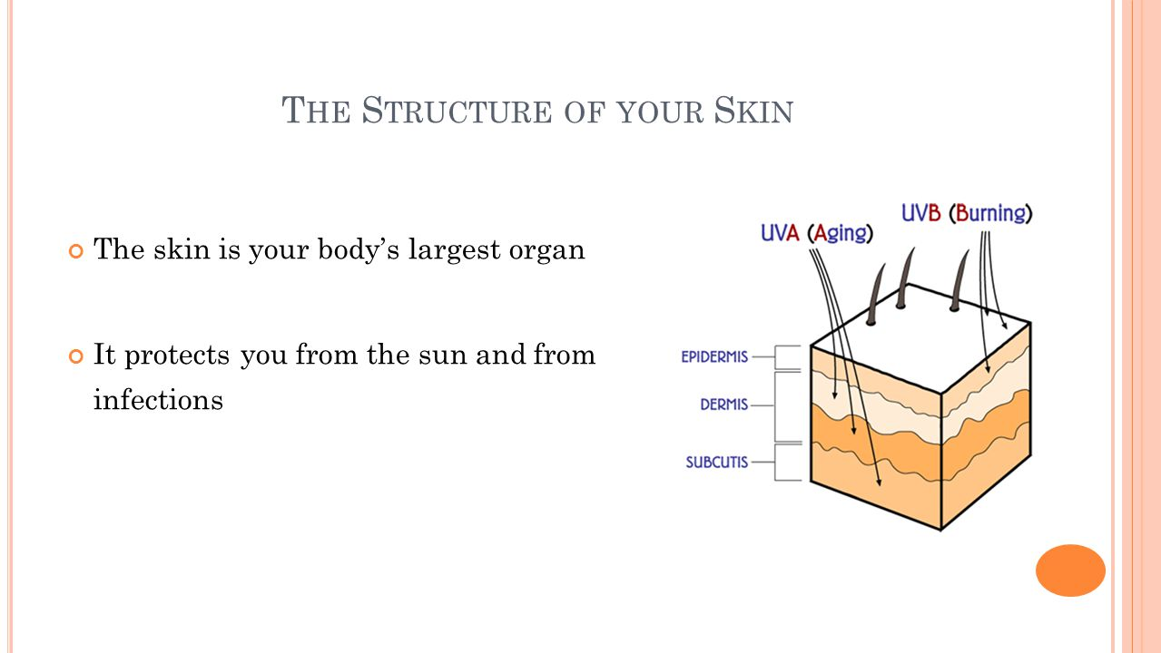 T HE S TRUCTURE OF YOUR S KIN The skin is your body's largest organ It protects you from the sun and from infections