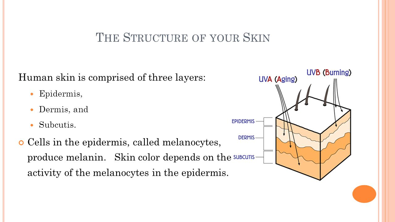 T HE S TRUCTURE OF YOUR S KIN Human skin is comprised of three layers: Epidermis, Dermis, and Subcutis.