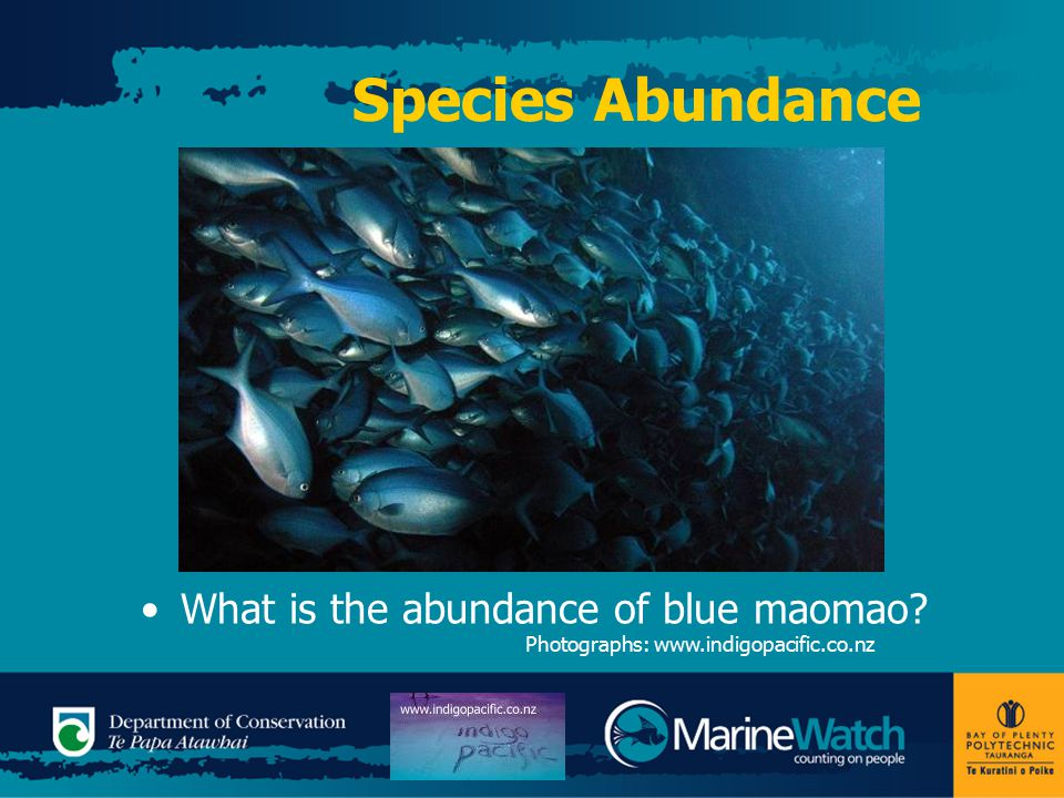 Species Abundance What is the abundance of blue maomao Photographs: www.indigopacific.co.nz